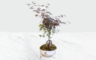 گیاه بونسای افرا
