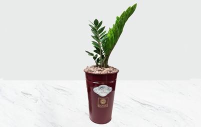 گلدان زرشکی زامیفولیا