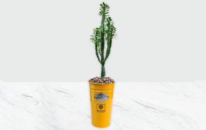 گیاه افوربیا سبز