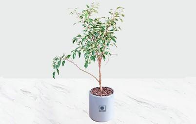 گیاه آپارتمانی بنجامین