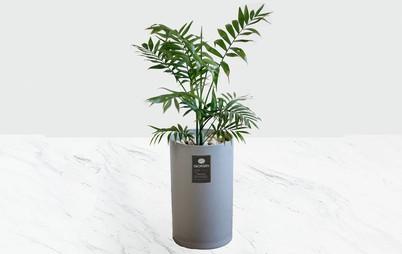 گیاه آپارتمانی شامادورا