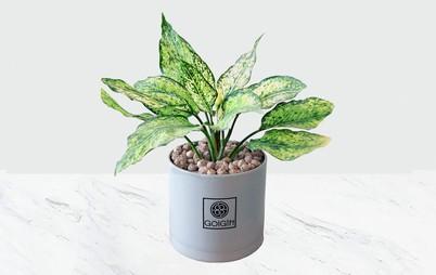 گیاه آگلونما سفید
