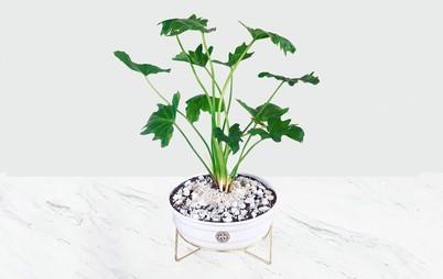 گیاه برگ انجیری فر
