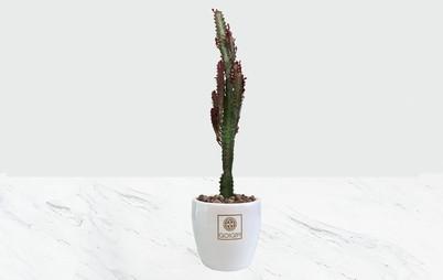 گیاه افوربیا قرمز