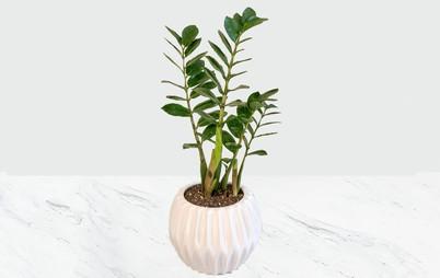 گیاه زامیفولیا با گلدان سرامیکی