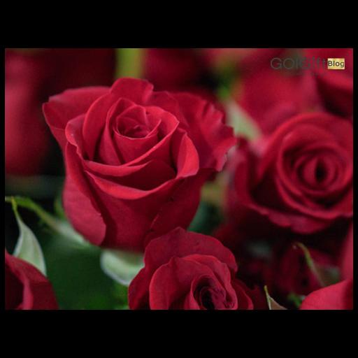 گل رز به سرخی عشق