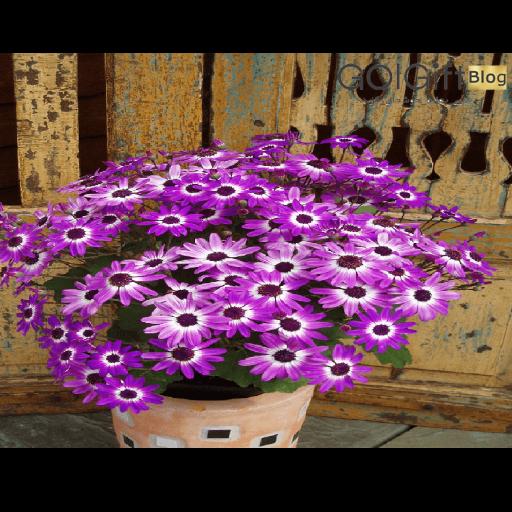نحوه نگهداری گل سینره