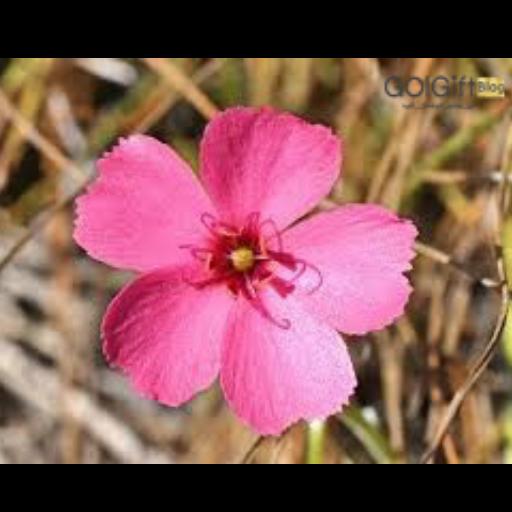 گلدهی گیاه دروزرا