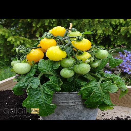 Golden Nugget یکی از انواع گیاه گوجه گیلاسی