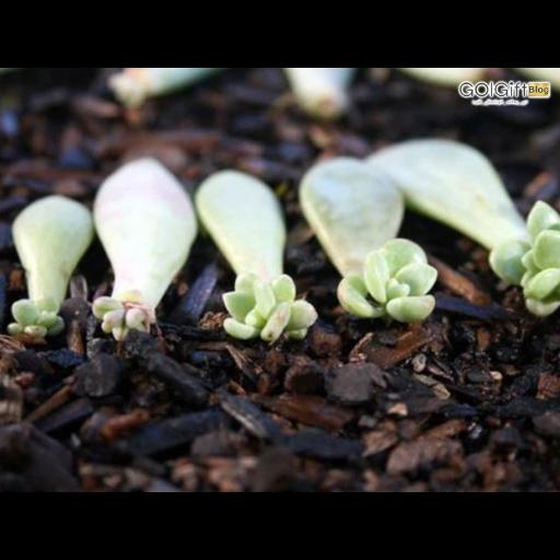 روش های تکثیر گیاه ساکولنت