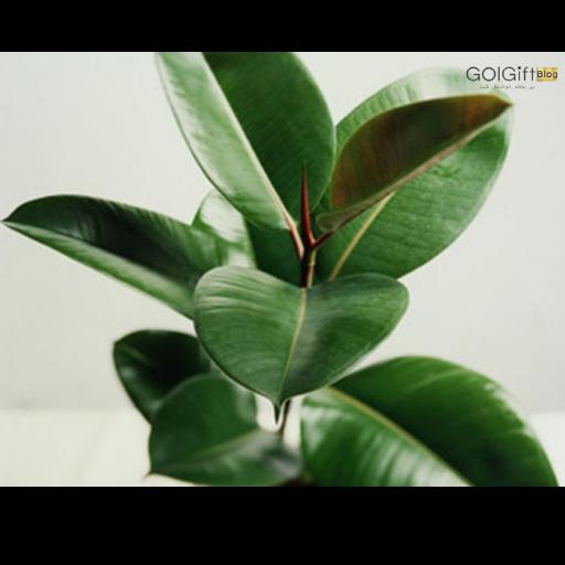نگهداری گیاه فیکوس