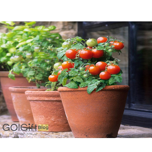 نگهداری گیاه گوجه گیلاسی با دمای مناسب
