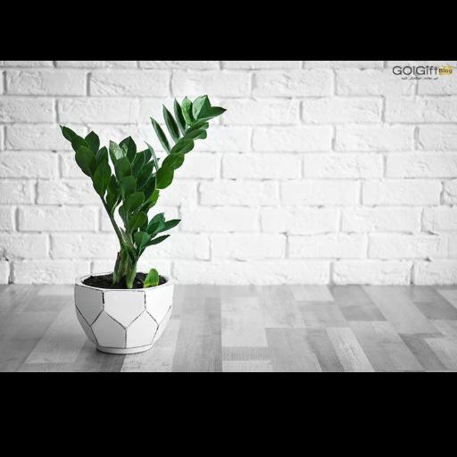 نور مناسب گیاه زاموفیلیا