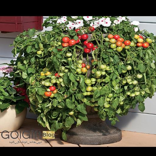 نحوه نگهداری و پرورش گیاه گوجه گیلاسی در خانه