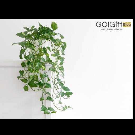 گیاه آپارتمانی پتوس