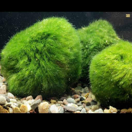 گیاه جلبک توپی