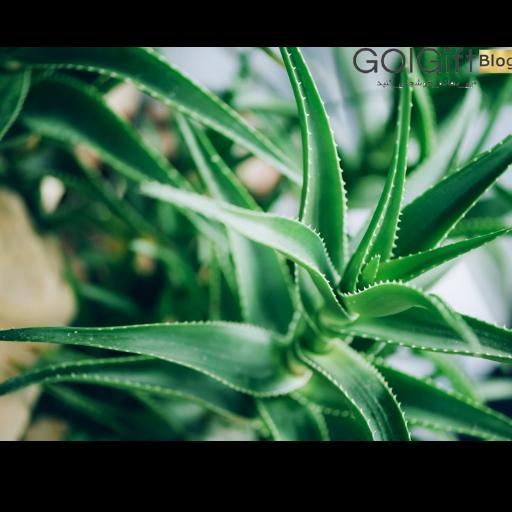 نحوه داشتن گیاه آلوئه ورای سالم و شاداب