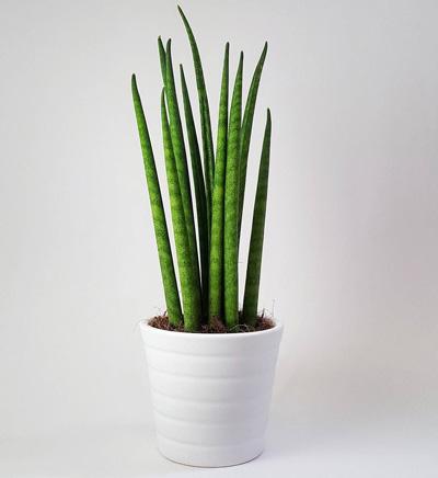 گل گیفت | گیاه سانسوریا زبان مادرشوهر