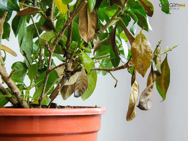 گل گیفت | 5 روش موثر برای احیا کردن گیاهان