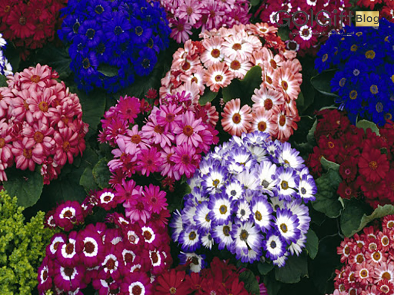 گل گیفت | نحوه نگهداری گل سینره