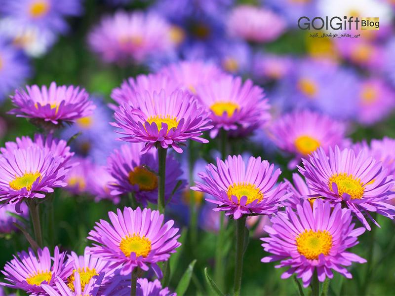گل گیفت   گل و گیاهان فصل پاییز