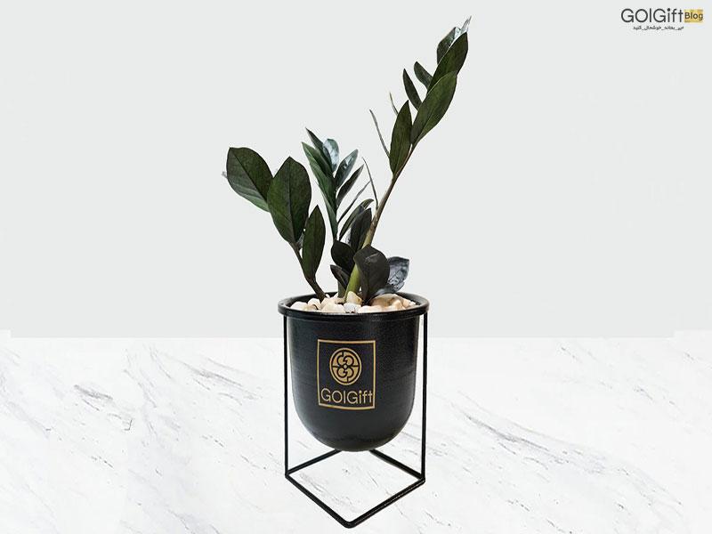 گل گیفت | روش نگهداری گیاه زاموفیلیا