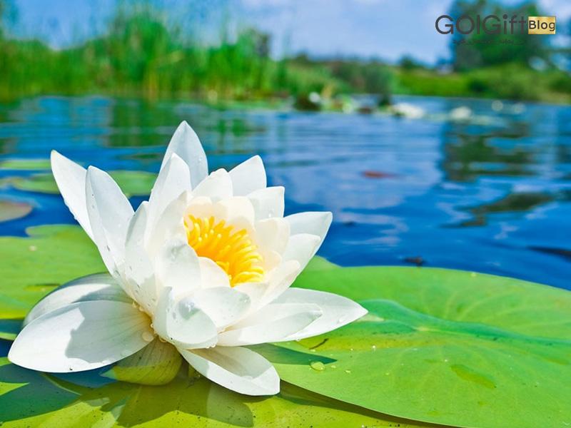 گل گیفت | راز گل نیلوفر آبی