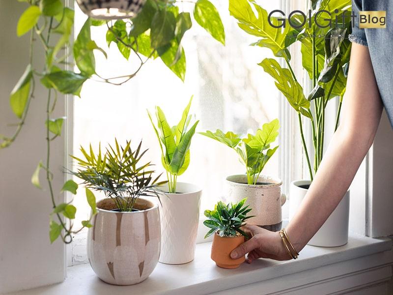 گل گیفت | گیاهان آپارتمانی اکسیژن ساز