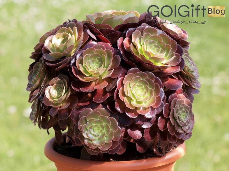 گل گیفت | نحوه نگهداری گل کاکتوس خورشیدی