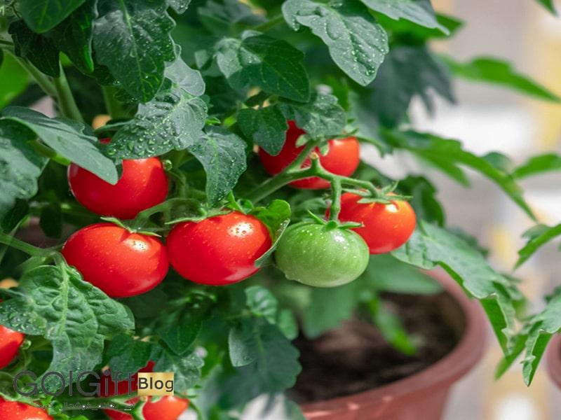 گل گیفت | نحوه نگهداری گیاه گوجه گیلاسی