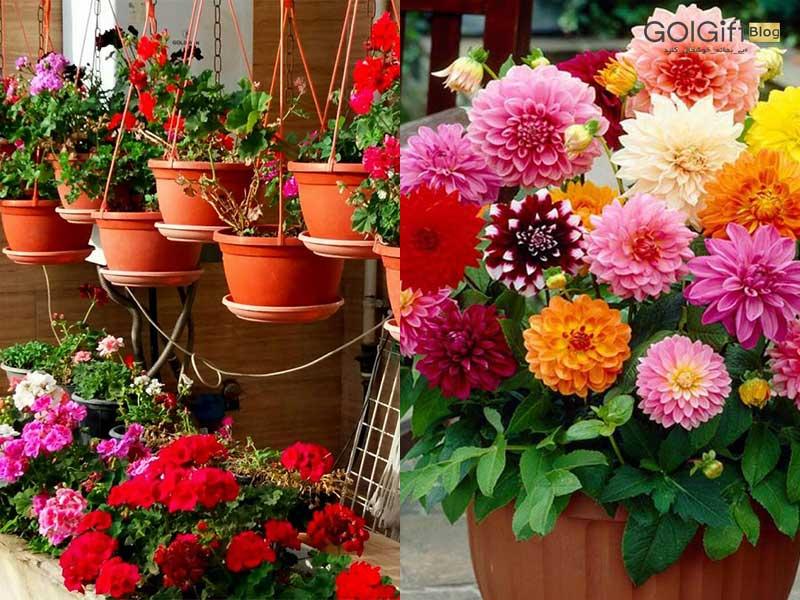 نگهداری گل کوکب در آپارتمان