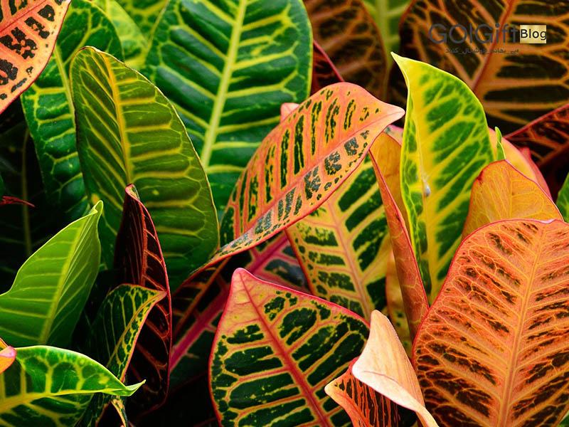 گل گیفت | روش نگهداری گیاه کروتون