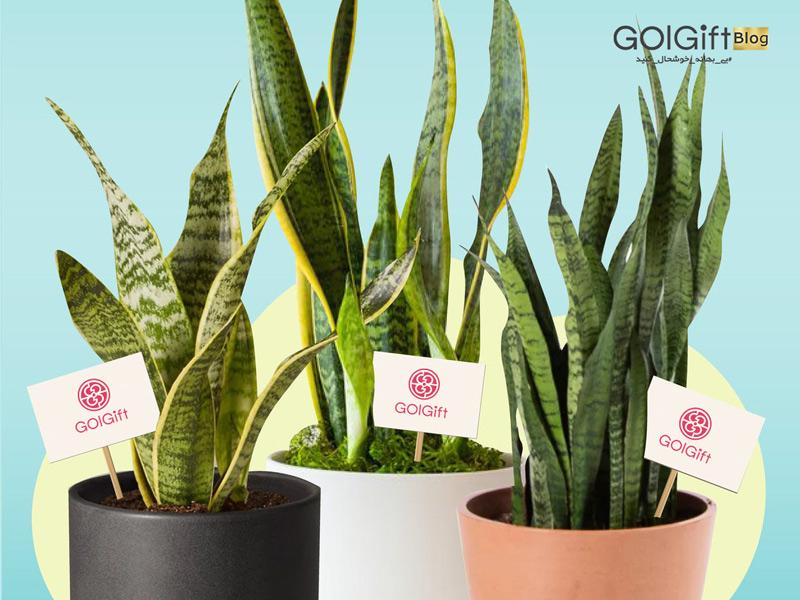گل گیفت   خرید اینترنتی گیاه آپارتمانی