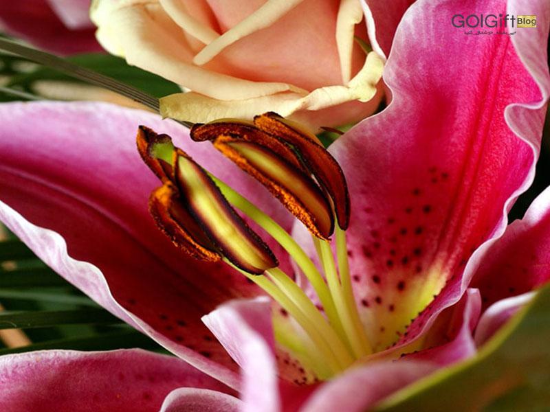 گل گیفت | عمر گل لیلیوم