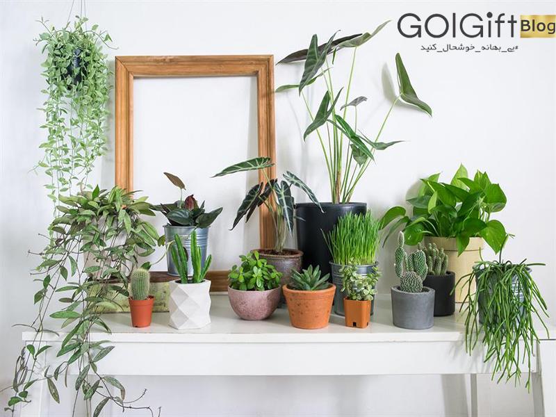 گل گیفت | بهترین گیاهان آپارتمانی برای اتاق خواب