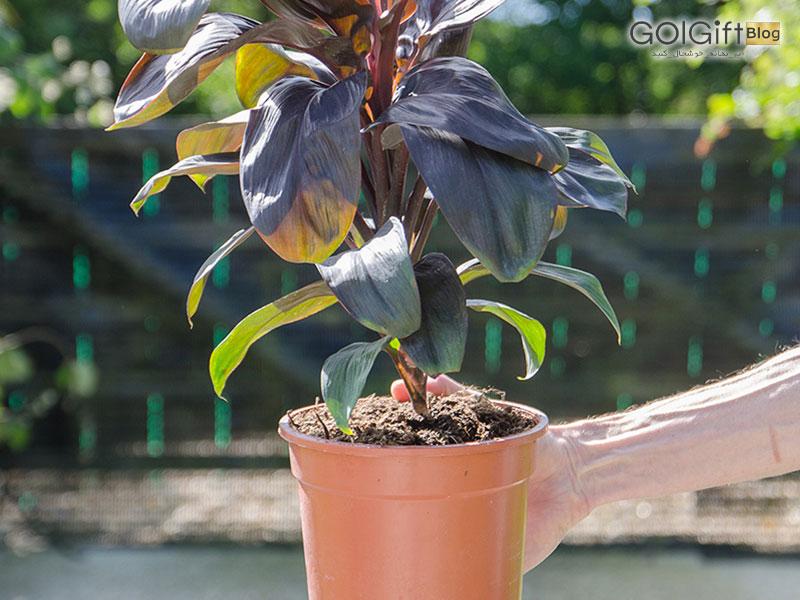 گل گیفت | نگهداری گیاه کوردیلین ترمینالیس