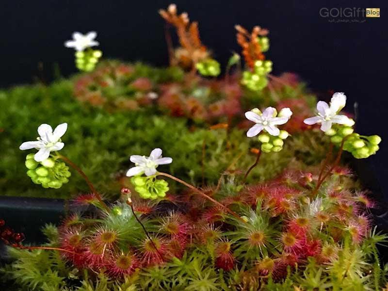 گل گیفت | خرید گیاه دروزرا