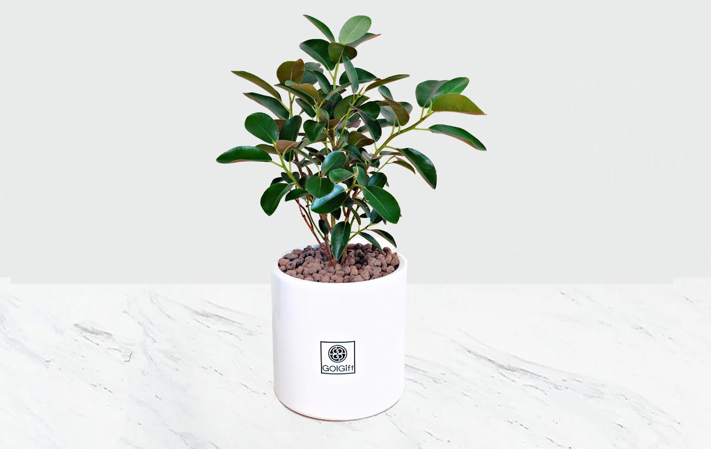 گیاه فيكوس جنگلى