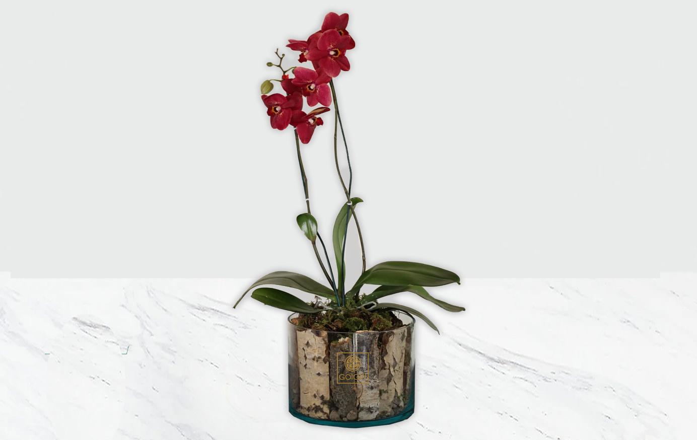 گلدان شیشهای ارکیده قرمز