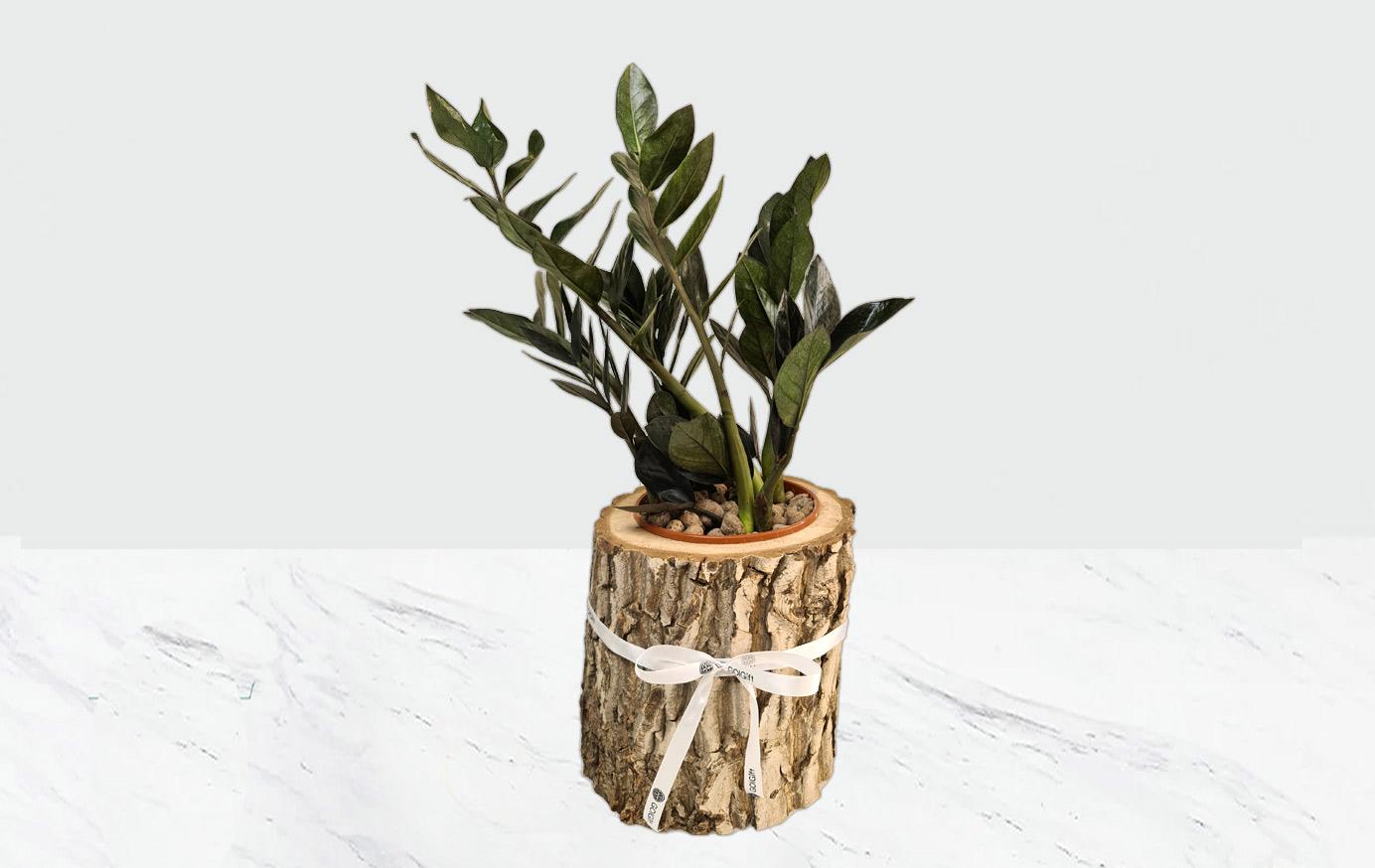 گیاه زامیفولیا بلک راون