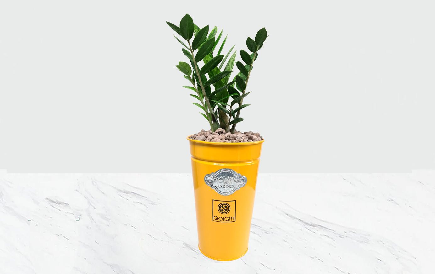 گلدان زرد زامیفولیا